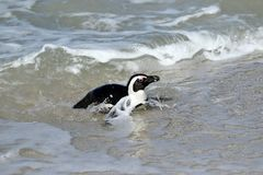 冰砾的企鹅殖民地在开普敦,南非附近靠岸,西蒙` s镇 免版税库存照片