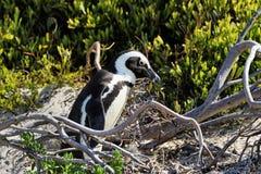 冰砾的企鹅殖民地在开普敦,南非附近靠岸,西蒙` s镇 免版税图库摄影