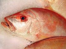冰红鲷鱼 免版税库存图片