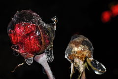 冰花,结冰的玫瑰夜 免版税图库摄影
