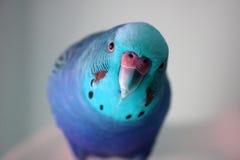 冰蓝色男性长尾小鹦鹉股票照片 免版税库存图片