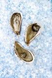 冰被开张的牡蛎 免版税库存照片