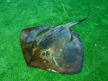 冰鞋黄貂鱼或海猫 库存照片