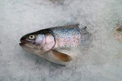 冰鳟鱼 免版税库存照片
