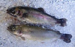 冰鳟鱼 库存图片