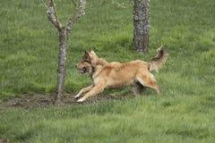 冲刺一条幼小金黄的狗 库存照片