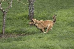 冲刺一条幼小金黄的狗 免版税库存图片