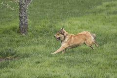 冲刺一条幼小金黄的狗 库存图片