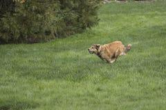 冲刺一条幼小金黄的狗 免版税库存照片
