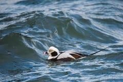 冲浪浪潮起伏的水的长尾的鸭子 库存照片