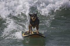 冲浪的狗 免版税库存照片