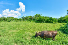 冲绳棕色母牛 免版税库存图片