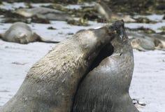决斗的海狮 库存图片