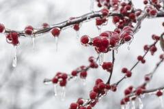 冷冻红色果子 免版税库存照片