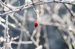 冷冻红色野玫瑰果 免版税库存图片