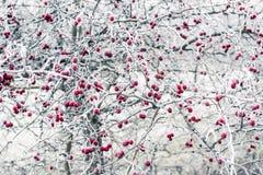 冷冻野玫瑰果 图库摄影