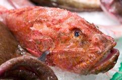 冷却的鱼冰红色 库存图片