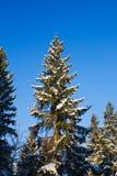 冷杉下雪结构树 库存图片