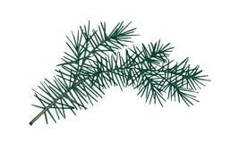 冷杉分支典雅的详细的植物的图画与与针相似的叶子的 手拉常青针叶树的小树枝  皇族释放例证