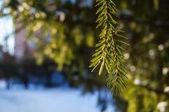 冷杉分支在一个晴朗的冬天早晨在阳光下 库存图片