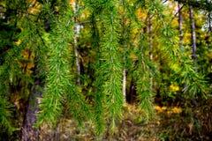冷杉分支在秋天森林里 图库摄影