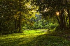 冷杉和老树被日光照射了森林  免版税库存图片