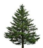 冷杉唯一结构树 图库摄影