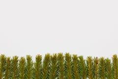 冷杉圣诞节背景分支在白色背景的底部 图库摄影