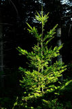 年轻冷杉在托斯卡纳山的一个神奇黑暗的森林里 免版税库存图片