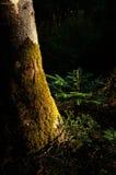 年轻冷杉在托斯卡纳山的一个神奇黑暗的森林里 库存图片