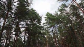 冷杉在杉木森林里 股票录像