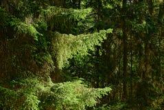 冷杉在阳光下分支在一个密集的森林里 库存图片