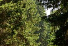 冷杉在阳光下分支在一个绿色森林里 免版税库存图片