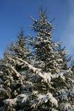 冷杉多雪的结构树 免版税库存图片