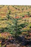 冷杉小的结构树 免版税库存照片
