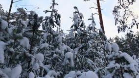 冷杉木上面在森林里 股票录像