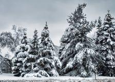 冷杉木在一个阴暗早晨 免版税库存图片