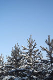 冷杉木在冬天 免版税库存照片