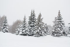 冷杉木在冬天 库存照片