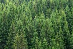 冷杉木森林背景 库存图片
