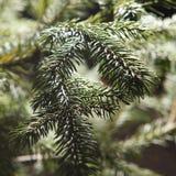 冷杉木美好的分行  库存照片