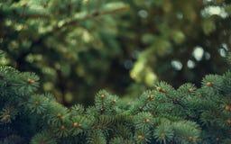 冷杉木背景 免版税图库摄影