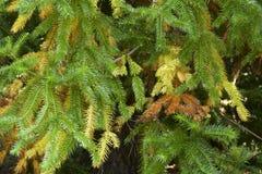 冷杉查出的结构树白色 免版税图库摄影