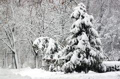 冷杉查出的结构树白色 库存图片