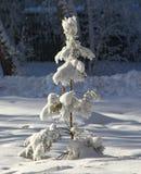 冷杉查出的结构树白色 图库摄影