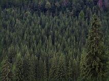 冷杉查出的结构树白色 库存照片