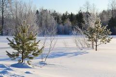 冷杉森林小的结构树二冬天 免版税库存图片