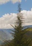 冷杉森林,安地斯山 免版税库存图片