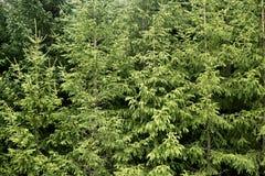 冷杉绿色山松纹理结构树 免版税库存照片