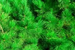 冷杉绿色针 免版税库存照片